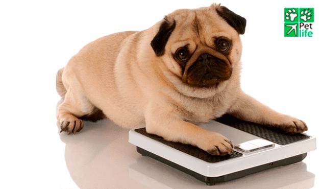 ¿Está Gordo mi Perro?
