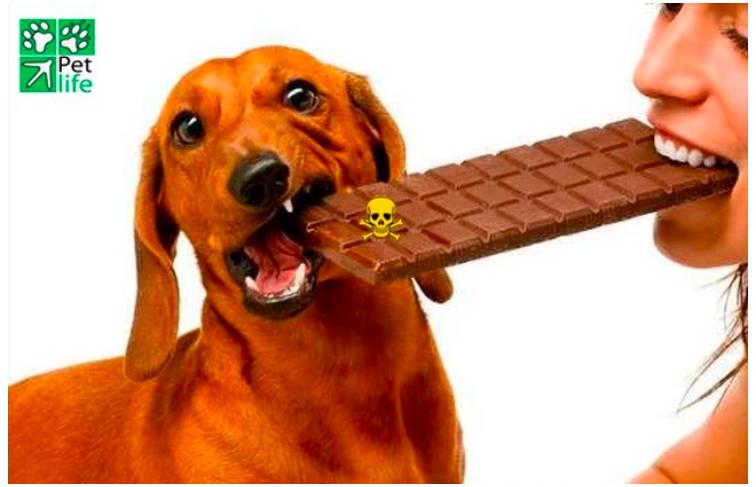 El Chocolate: 1 Veneno para tu Perro