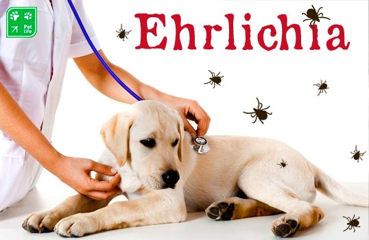 Ehrlichia: de la Garrapata a tu Mascota