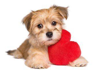 Condición cardíaca en perros