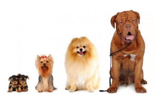 Perros y razas : Pequeña, mediana y grande. Cuál te funciona?